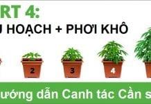 Canh tác Cần sa #4: Thu hoạch & Phơi khô - Tạp chí Cần sa Việt Nam - cansa.co