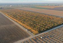 Phát hiện 10 triệu cây cần sa trồng trái phép trị giá 1 tỉ USD ở California - Tạp chí Cần sa Việt Nam - cansa.co